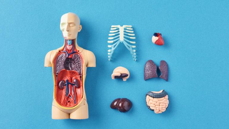 内臓の模型